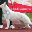 Born to Win White Prince FIN CAC and Best Male 2 in a Dog Show in Finland! 2