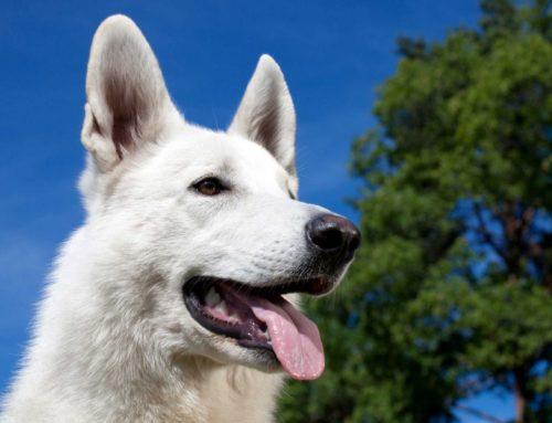 Valge lambakoer – suursugune, mitmekülgne, intelligentne ja truu