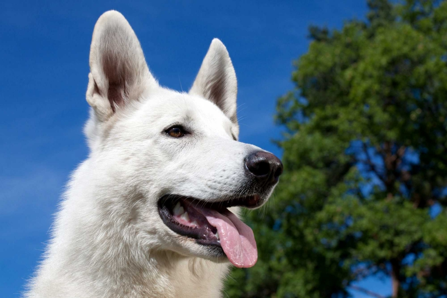 White Swiss Shepherd Dog Born to Win Warrior Almighty