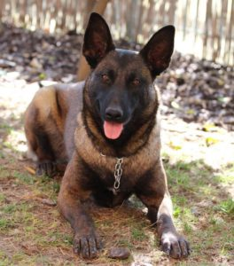 Belgian Shepherd Malinois Health Test Results 1