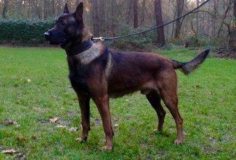 Belgian Shepherd Malinois Puppies 2