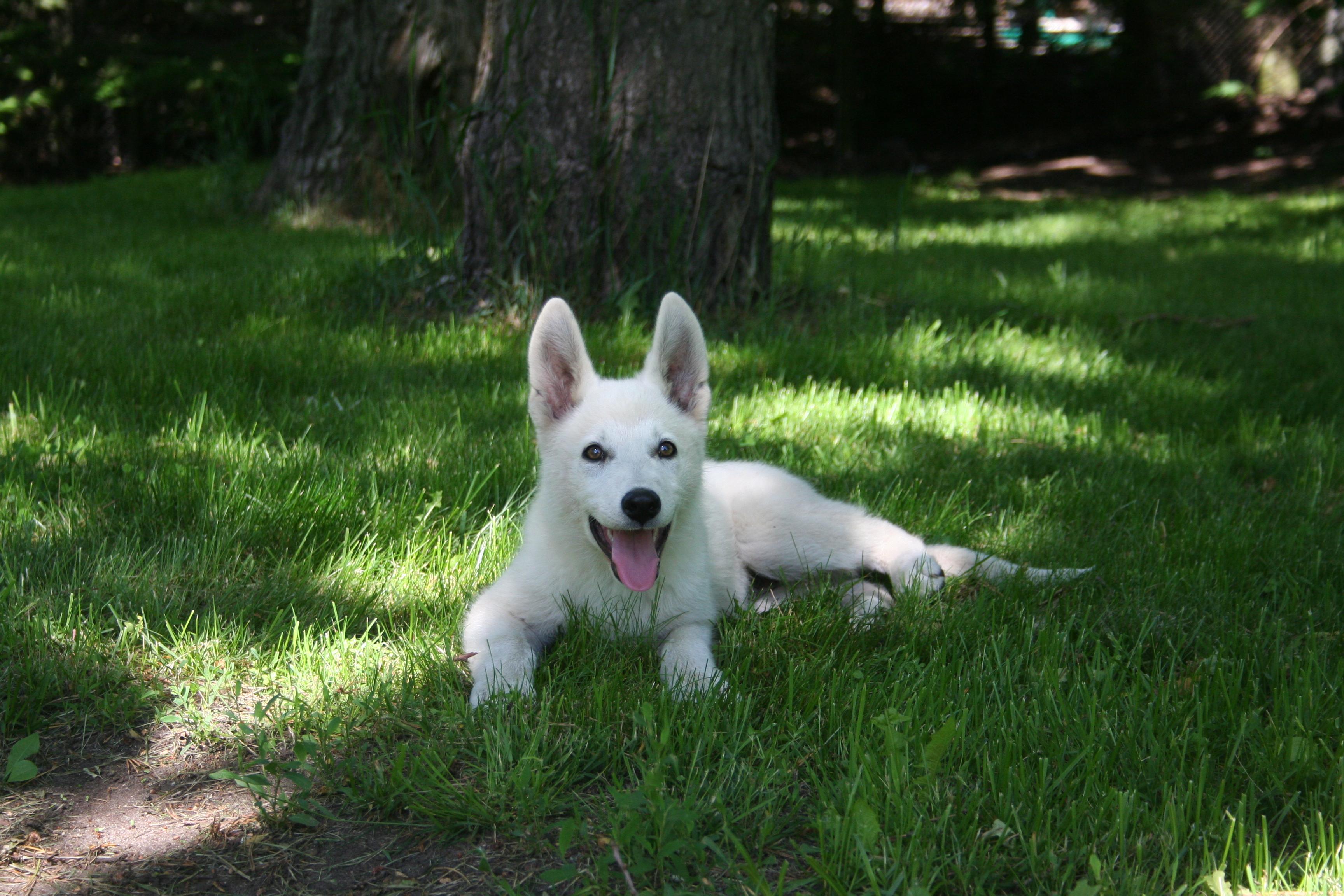 White Swiss Shepherd Puppies X Litter 20