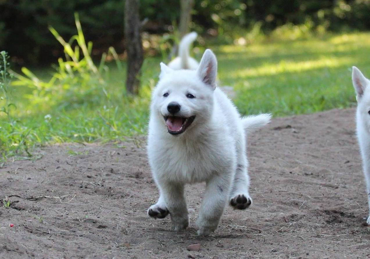 White Swiss Shepherd Puppies Y Litter 19