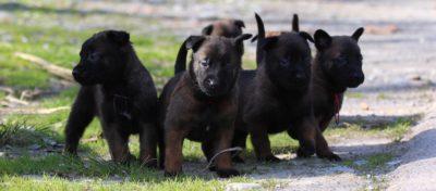 White Swiss Shepherd Puppies – Born to Win White Zal x Born to Win Warrior Apollo 20