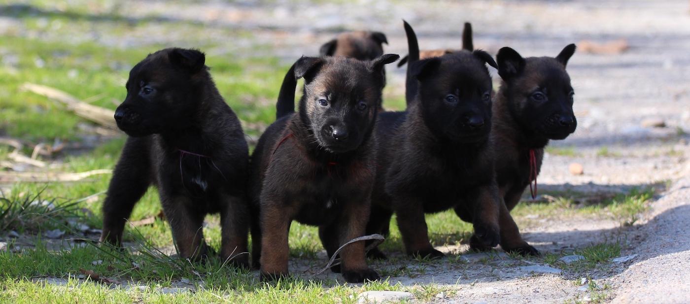 Belgian Shepherd Malinois Puppies 21