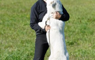 BTWW - Born to Win Warrior White Swiss Shepherd & Belgian Shepherd Malinois 4