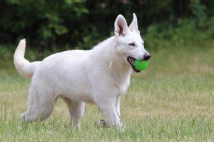 White Shepherd Puppies BTWW W litter 1