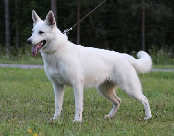 White Swiss Shepherd Puppies X Litter 1
