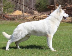 White Shepherd Puppies BTWW W litter 2
