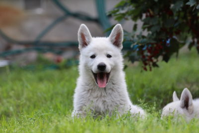 White Shepherd Puppies
