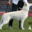 White Shepherd Born to Win White General IPO1 FH1 BH AD
