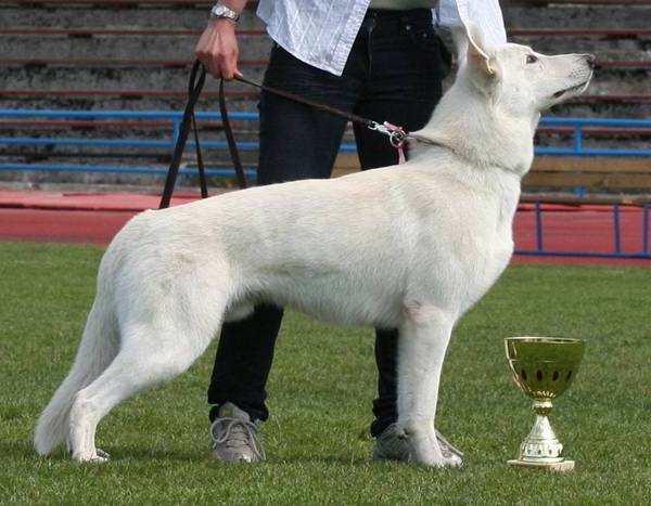 White Shepherd Born to Win White General IPO1 FH1 BH AD