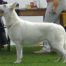 Born to Win White Prince FIN CAC and Best Male 2 in a Dog Show in Finland! 4