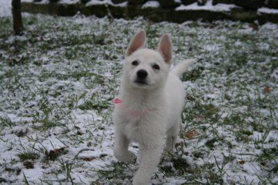 White Swiss Shepherd Puppies – Born to Win White Zal x Born to Win Warrior Apollo 17