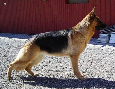 German Shepherd Dog Admirable Born to Win