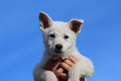 JJ di Casa Praderio X Born to Win Warrior Madfire White Swiss Shepherd Puppies - BTWW A Litter 15