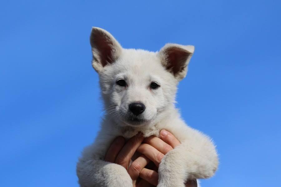 JJ di Casa Praderio X Born to Win Warrior Madfire White Swiss Shepherd Puppies - BTWW A Litter 17
