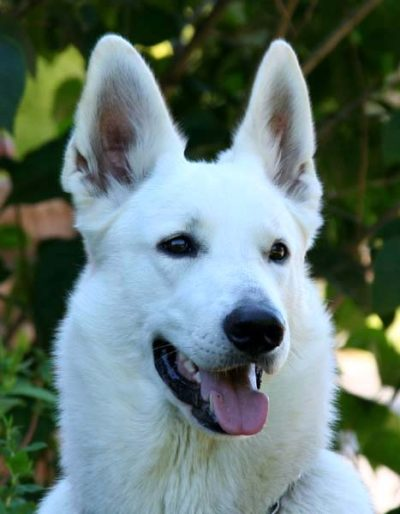 4 Belgian Shepherd Malinois or White Swiss Shepherd Dog Which is Better Breed for Me 15