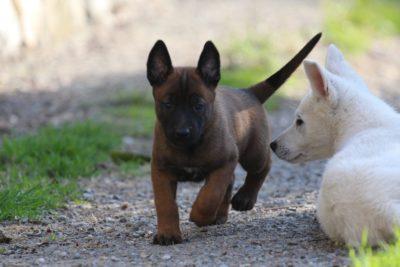 White Swiss Shepherd Puppies – Born to Win White Zal x Born to Win Warrior Apollo 15