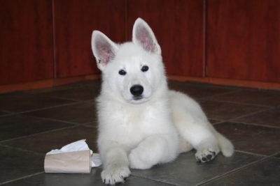 White Swiss Shepherd Puppies – Born to Win White Zal x Born to Win Warrior Apollo 14