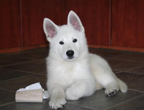 White Swiss Shepherd Puppies – Born to Win White Viking x Born to Win White Onfire