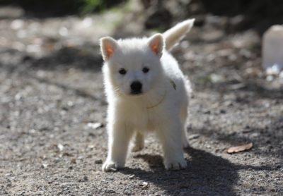 White Swiss Shepherd Puppies – Born to Win White Zal x Born to Win Warrior Apollo 13