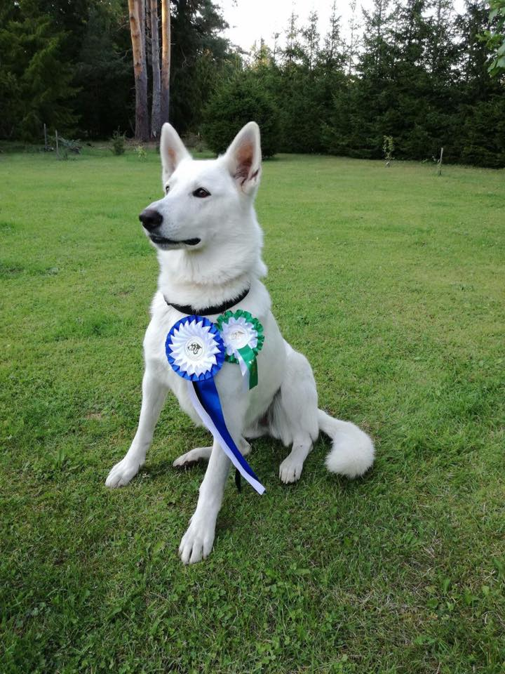 BTWW Crazy Best of Opposite Sex from Estonian White Swiss Shepherd Specialty Show! 2
