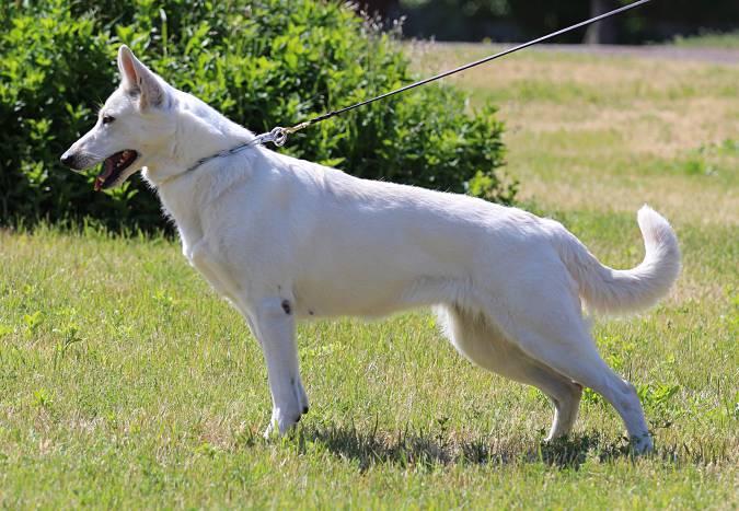 White Swiss Shepherd Puppies - Born to Win White Viking x Born to Win White Onfire 1