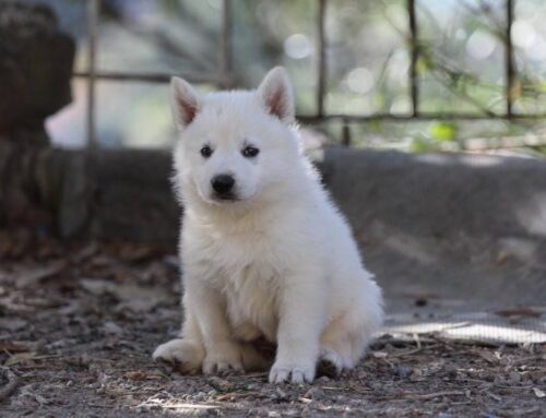 White Shepherd Puppies Monaco France Cote d'Azur Cannes Nice Italy Imperia