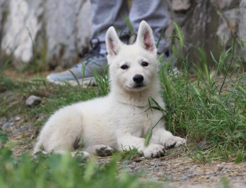 White Swiss Shepherd Puppies – Monaco, Italian Riviera, French Riviera – JJ di Casa Praderio x Born to Win Warrior JetFire