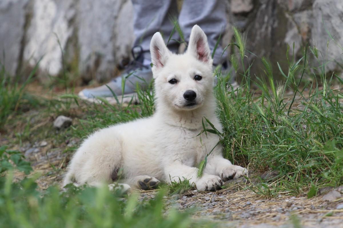White Swiss Shepherd Puppies - Monaco, Italian Riviera, French Riviera - JJ di Casa Praderio xBorn to Win Warrior JetFire 12