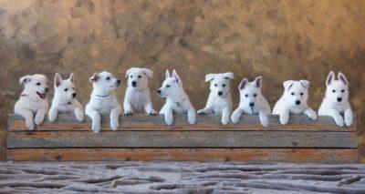 White Swiss Shepherd Puppies – Born to Win White Zal x Born to Win Warrior Apollo 12
