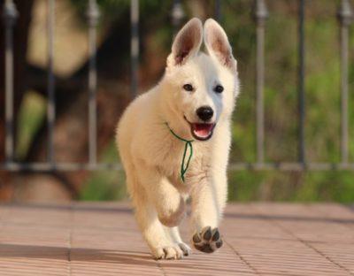 White Swiss Shepherd Puppies – Born to Win White Zal x Born to Win Warrior Apollo 10