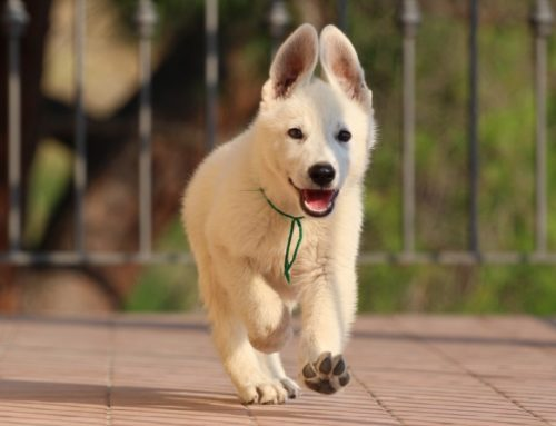 White Swiss Shepherd Puppies – Monaco, Italian Riviera, French Riviera – Born to Win Warrior Wahlman x Niky Star z Rance Montara