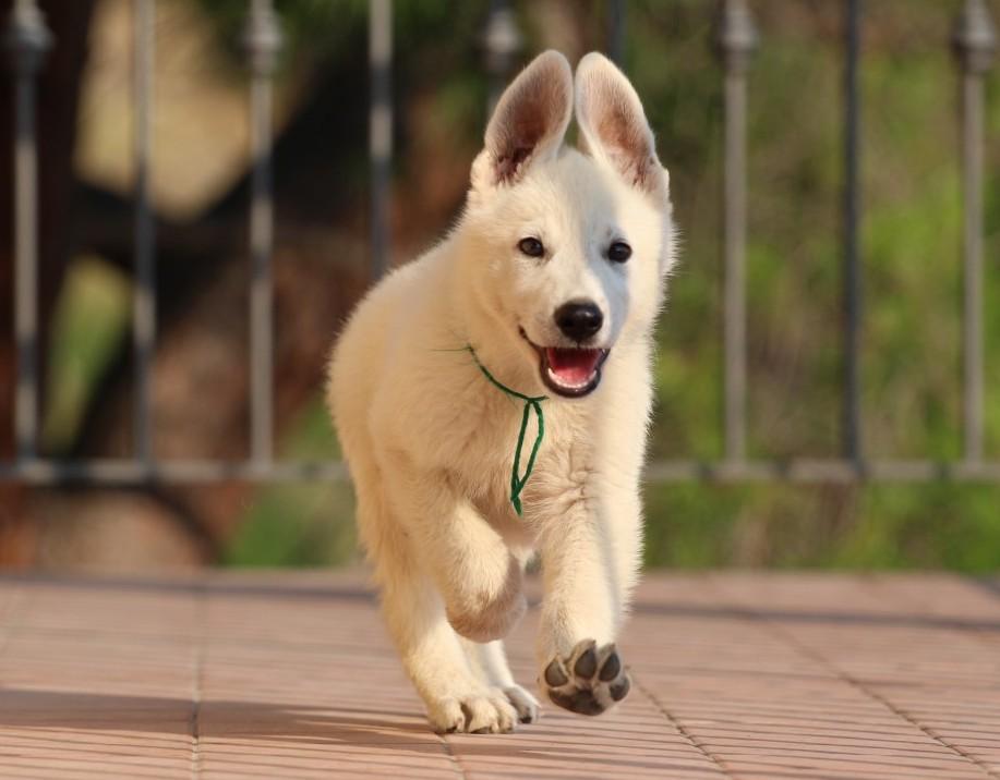 White Swiss Shepherd Puppies – Monaco, Italian Riviera, French Riviera - Born to Win Warrior Wahlman xNiky Star z Rance Montara 12