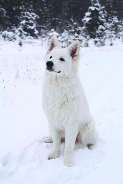 White Swiss Shepherd Male BTWW Shooter Health Test Results 1