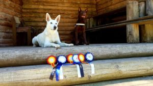 White Swiss Shepherd Extreme from Kontrastas from Estonian Dog Show BOB, CAC, EST CH 1