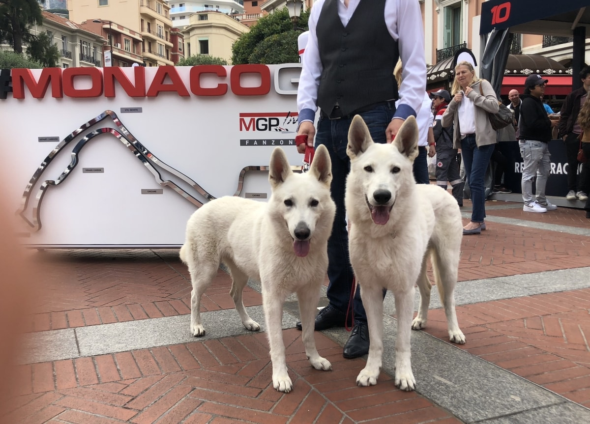 White-Shepherd-Male-Born-to-Win-White-Escobar