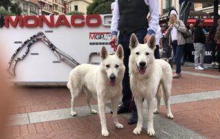 White-Shepherd-Male-BTWW-Wahlman-BTWW-Escobar