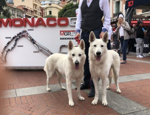 White Shepherd Males for Breeding