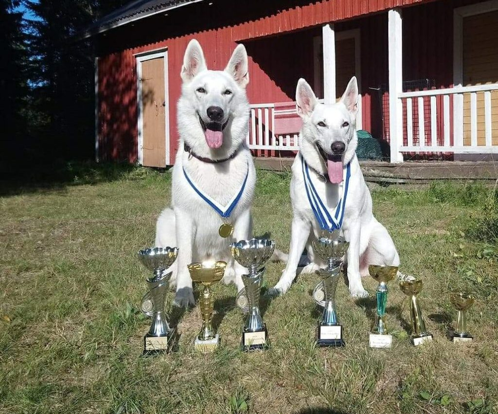 White Shepherd Breed obedience and rally obedience competition in Finland!  2