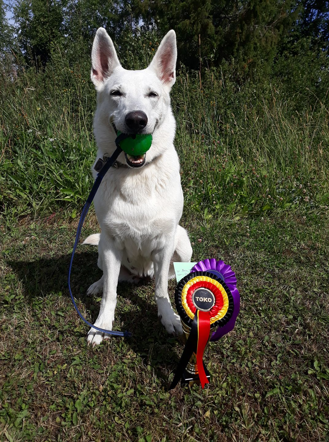 Born to Win White Oodi in Obedience Competition in Finland 6