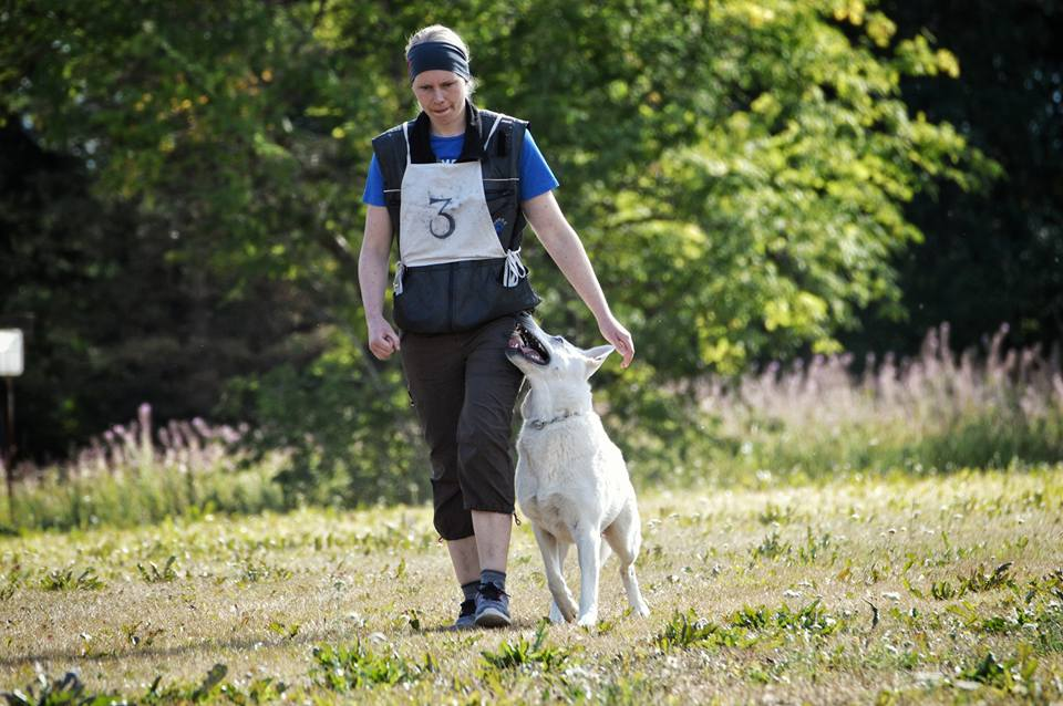 Born To Win White Oodi doing obedience last weekend 6