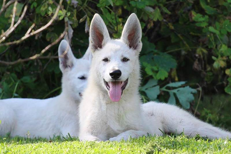 Šveitsi Valge Lambakoera kutsikad - Born to Win White Viking x Born to Win Warrior LionFire 2
