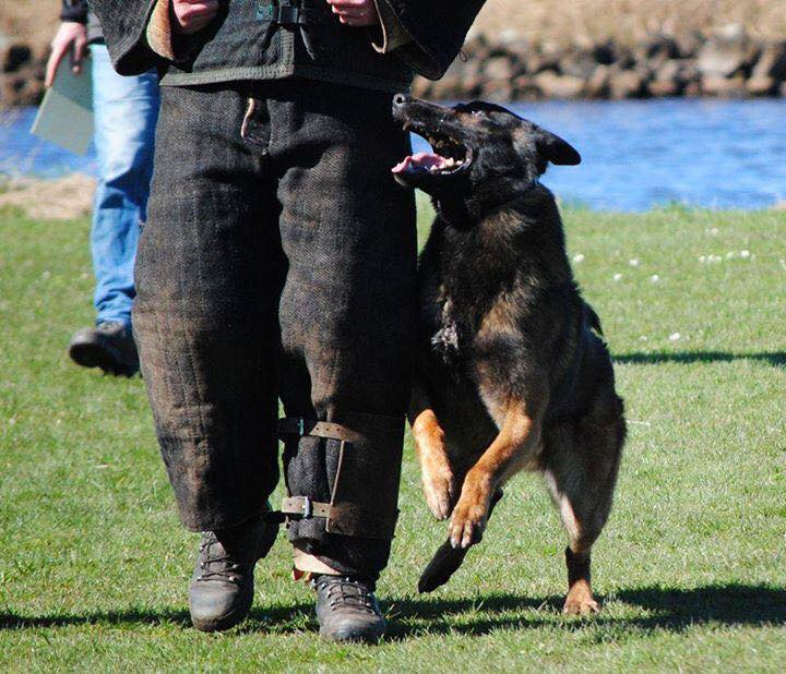 Belgian Malinois puppies - Born to Win Warrior Vesuvius x Police Dog Smoke van Valesca's Home 4