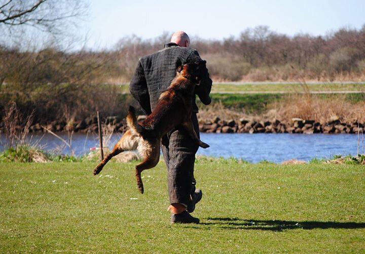 Belgian Malinois puppies - Born to Win Warrior Vesuvius x Police Dog Smoke van Valesca's Home 3