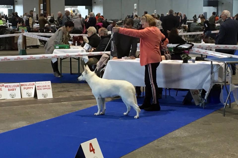 Born to Win Warrior Damascus Best of Breed Puppy in Metz 1