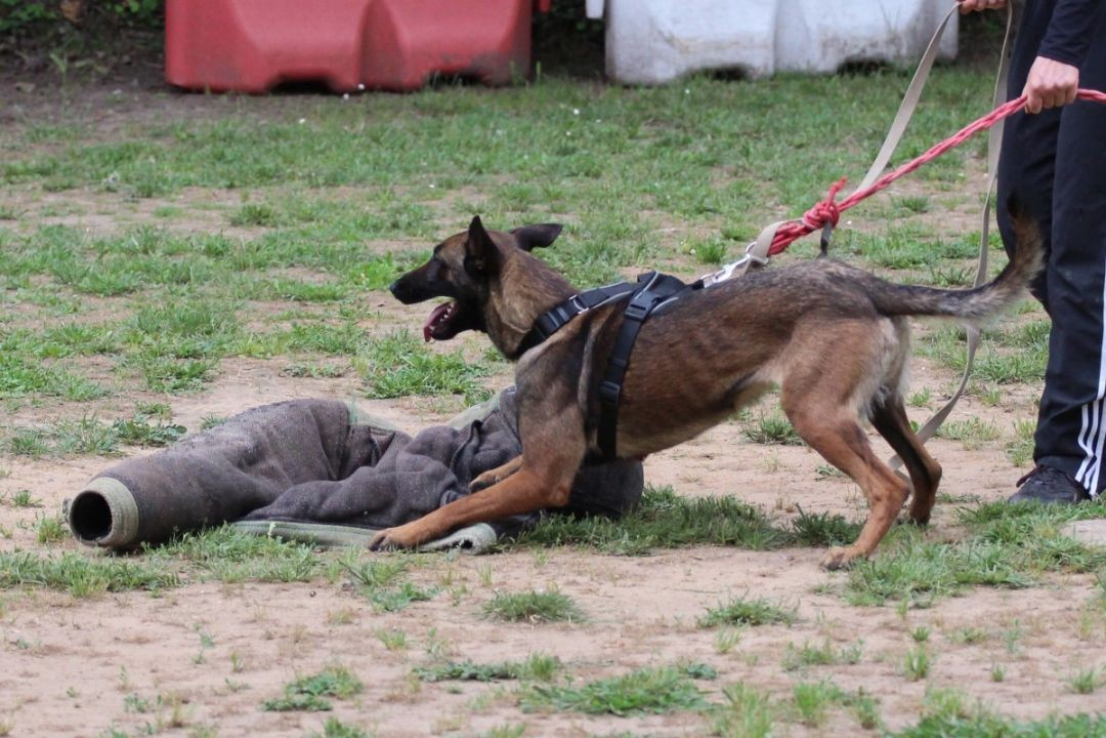 Belgian Malinois puppies - Born to Win Warrior Vesuvius x Police Dog Smoke van Valesca's Home 1