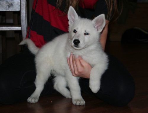 White Swiss Shepherd Puppies – Born to Win White Viking x Born to Win Warrior LionFire