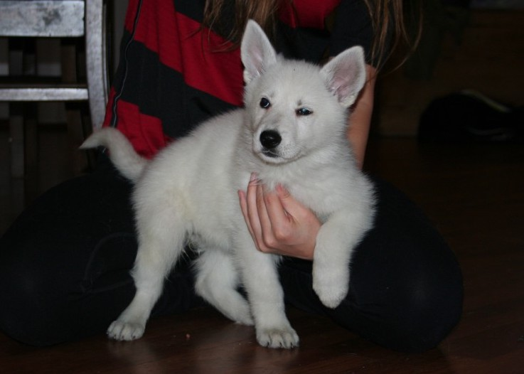 White Swiss Shepherd Puppies - Born to Win White Viking x Born to Win Warrior LionFire 9